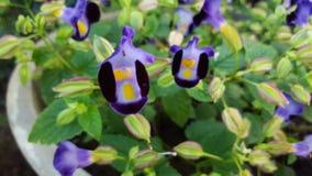 ฺButterfly grochów kwiaty (Błękitny groch) Zdjęcie Stock