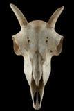À cornes fullface de crâne de moutons sauvages d'isolement sur un fond noir Photo stock