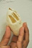 à¸'egg van krokodil na het fokken Royalty-vrije Stock Fotografie