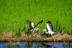 ฺEgrets летают в поле Стоковые Изображения RF
