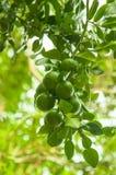 à¸'green le lemond sur l'arbre Image stock
