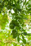 à¸'green lemond auf dem Baum stockbild