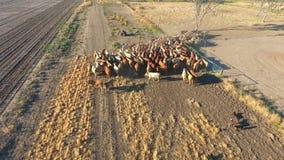 À l'intérieur bétail se rassemblant avec le troupeau de bétail banque de vidéos
