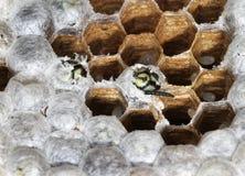 À l'intérieur d'un nid de guêpe montrant la structure et les oeufs hexagonaux Photographie stock