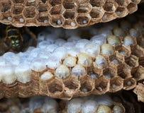 À l'intérieur d'un nid de guêpe montrant la structure et les oeufs hexagonaux Images stock