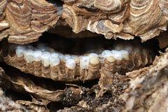 À l'intérieur d'un nid de guêpe montrant la structure et les oeufs hexagonaux Photos libres de droits
