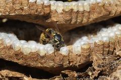 À l'intérieur d'un nid de guêpe montrant la structure et les oeufs hexagonaux Image libre de droits