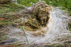 À l'intérieur d'un nid Processionary Photographie stock libre de droits