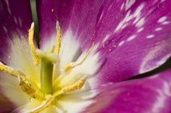 À l'intérieur d'une fleur pourprée lumineuse Images libres de droits