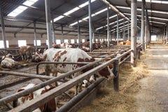 À l'intérieur de la ferme avec des vaches Photo libre de droits
