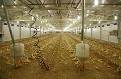 À l'intérieur ferme de poulet, Images stock