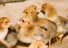 À l'intérieur ferme de poulet, alimentation de poulet Image libre de droits