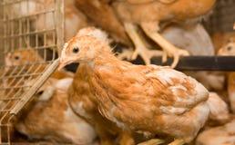 À l'intérieur ferme de poulet, alimentation de poulet Photos stock