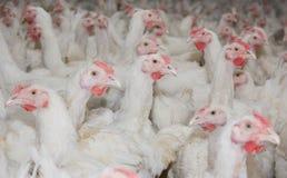 À l'intérieur ferme de poulet, alimentation de poulet Photos libres de droits