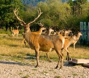À la ferme de cerfs communs Images stock