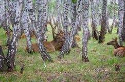 À la ferme pour l'élevage des cerfs communs en Sibérie, la Russie Photographie stock libre de droits