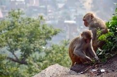 ฺMonkey en el templo de Swayambhunath o el templo del mono Foto de archivo