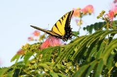 À pleine vue de l'alimentation de papillon de machaon Image stock