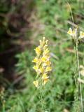 À pleine vue de la pleine floraison de la fleur vulgaris de Linaria images libres de droits