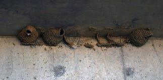 À quoi les nids d'oiseaux ressemblent étroits  photographie stock