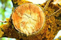 À section transversale d'un arbre avec le lichenes photo libre de droits