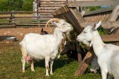 À une ferme chèvres mangeant de l'alimentation Photos stock