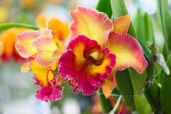 ัyellow i czerwieni cattleya hybrydowa orchidea zdjęcie stock