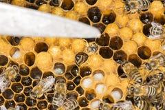 Ácaro en un ácaro malévolo del insecto de la colmena en una colmena de la abeja Imágenes de archivo libres de regalías