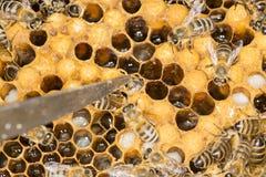 Ácaro en un ácaro malévolo del insecto de la colmena en una colmena de la abeja Fotos de archivo libres de regalías