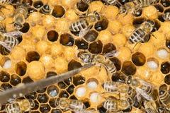 Ácaro en un ácaro malévolo del insecto de la colmena en una colmena de la abeja Fotos de archivo