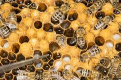Ácaro en un ácaro malévolo del insecto de la colmena en una colmena de la abeja Imagen de archivo