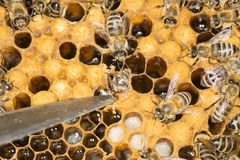 Ácaro en un ácaro malévolo del insecto de la colmena en una colmena de la abeja Foto de archivo