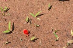 Ácaro rojo del terciopelo Foto de archivo libre de regalías