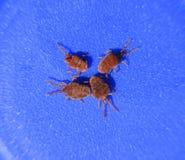 Ácaros do artrópode em um fundo azul Feche acima do veludo vermelho macro foto de stock royalty free