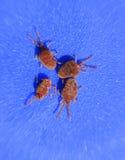 Ácaros do artrópode em um fundo azul Feche acima do veludo vermelho macro foto de stock