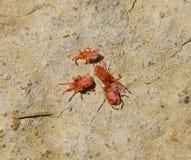 Ácaros do artrópode na terra Feche acima do ácaro vermelho macro de veludo ou fotos de stock