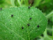 Áfidos que comen una hoja de la planta de la calabaza Imagen de archivo
