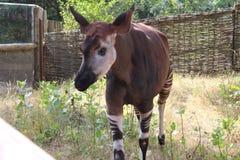 África 2018 Adultos jovenes El animal de África Foto de archivo libre de regalías