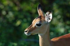 África: Antílope del impala Fotos de archivo libres de regalías