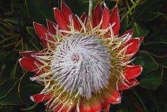 África cynaroides vermelhos bonitos do rei Protea Protea dentro completamente fotografia de stock