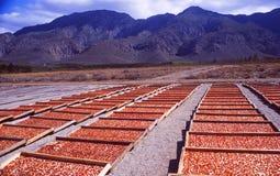 África do Sul: Peperoni vermelho de secagem perto da baía de Gordons no Wester imagens de stock