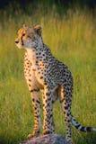 África do Sul - Sabi Sand Game Reserve Imagens de Stock