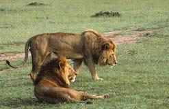 África, Kenya, Masai Mara, dois leões, companheiros, um que encontra-se para baixo, a outra posição ao lado da observação fotografia de stock royalty free