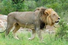 África: Leão africano que ruje Foto de Stock Royalty Free