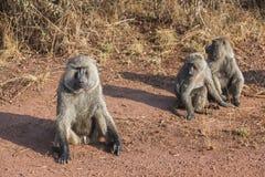 África los babuinos Imágenes de archivo libres de regalías
