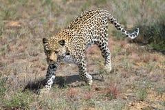 África nafta Leopardo imagen de archivo libre de regalías
