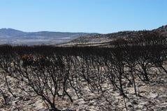África queimou a floresta do Protea Fynbos na praia perto de Capetow imagens de stock