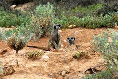 África se cierra para arriba de dos Meerkats salvaje lindo en casa foto de archivo