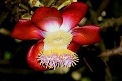 África Seychelles Guianensis precioso y asombroso del couroupita de la flor Foto de archivo