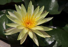 Água amarela do lírio Imagens de Stock Royalty Free